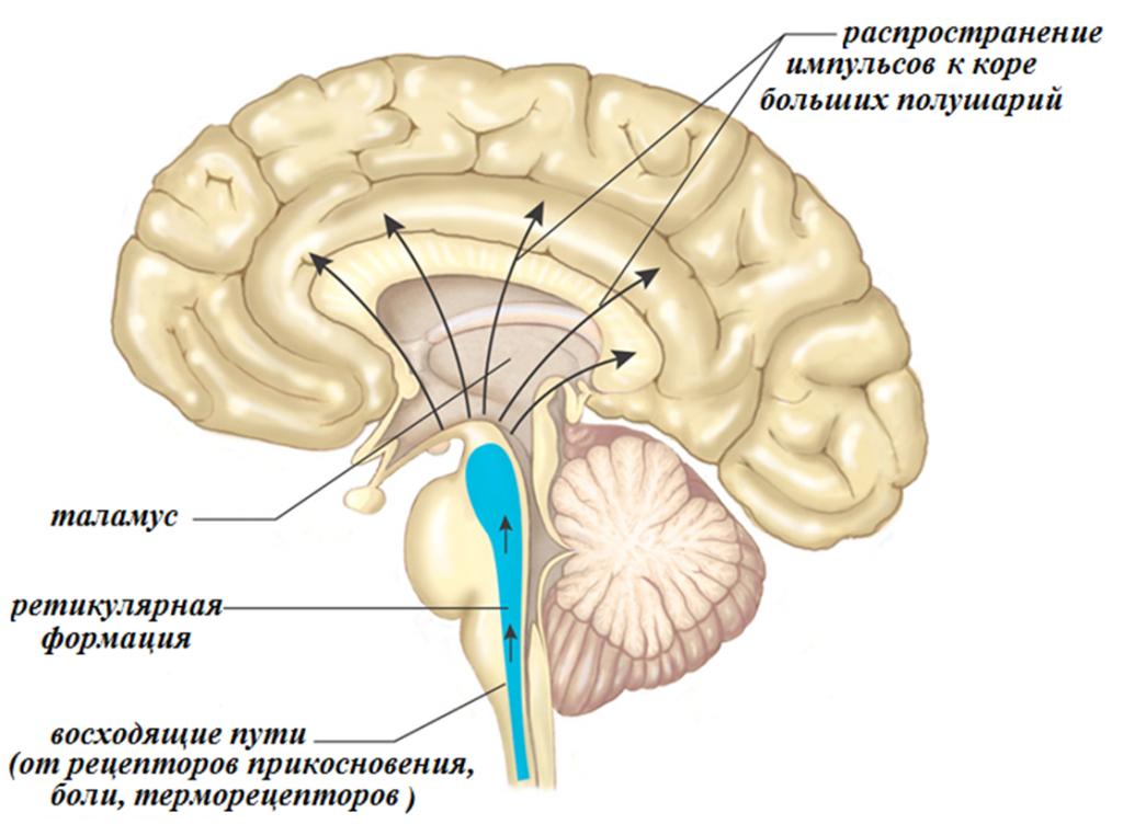 Действительно ли наш мозг ленив?